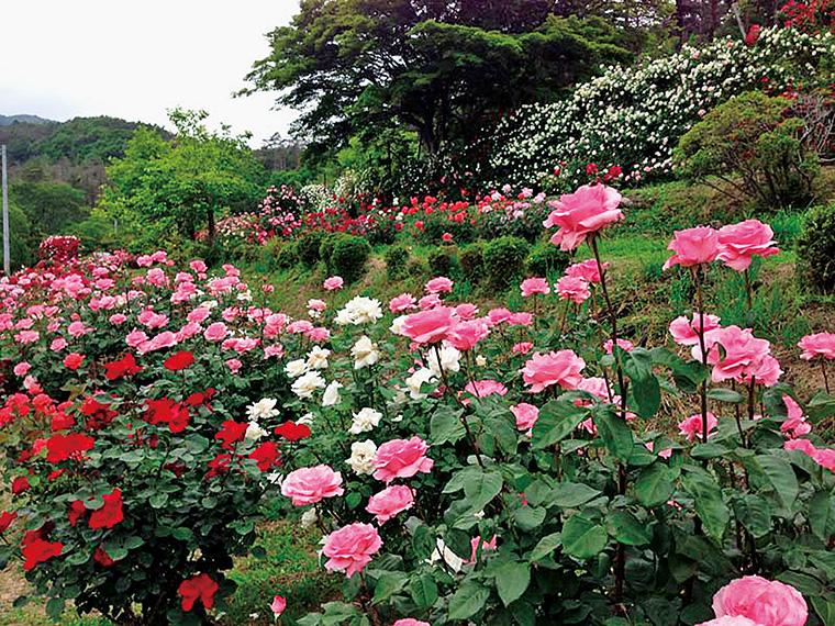 バラ園では約40種類・約400株が咲き誇る。花の近くまで行って香りを堪能するのもおすすめ