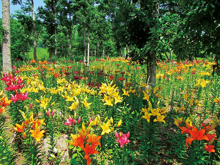 敷地内の木立に黄色や赤、オレンジの鮮やかな色をつけたユリが咲き揃う