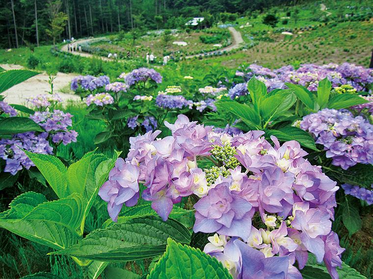 アジサイは国内外の品種約27,000本が植えられており、世界のほとんどの品種が見られるという。写真を撮りながらの観賞も楽しい