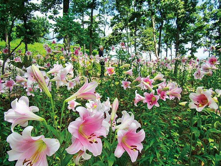 大輪の花をつけるユリは華やかな香りも魅力