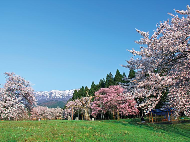 古くから、桜の開花が農作業のはじまりを告げるといわれていたことから、人々の生活に根付いており、現在も樹齢500年を超える桜が白鷹町内各所に点在