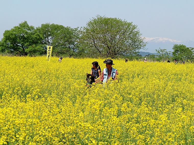 【4月28日(日)宮城県角田市】第22回 かくだ菜の花まつり