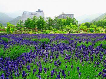 磐梯高原でラベンダーなど、初夏の花々を楽しもう