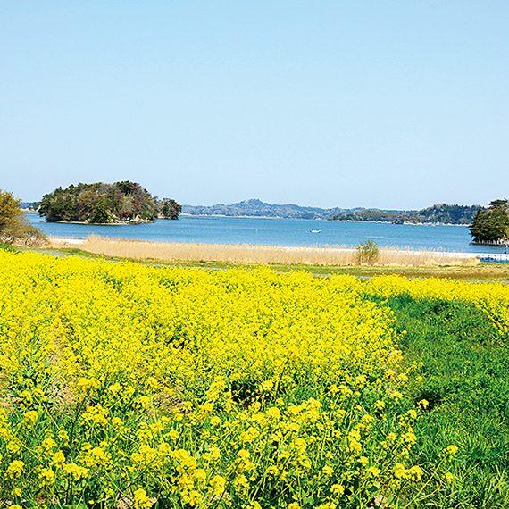 「さとはま縄文の里史跡公園」。4月下旬頃には美しい菜の花畑が広がる