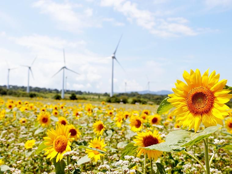 白い風車とひまわりのコントラストが、夏らしい!