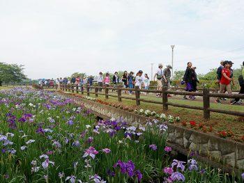 JR鏡石駅近くの「鳥見山公園」で、アヤメ約70種4万株が咲き誇る