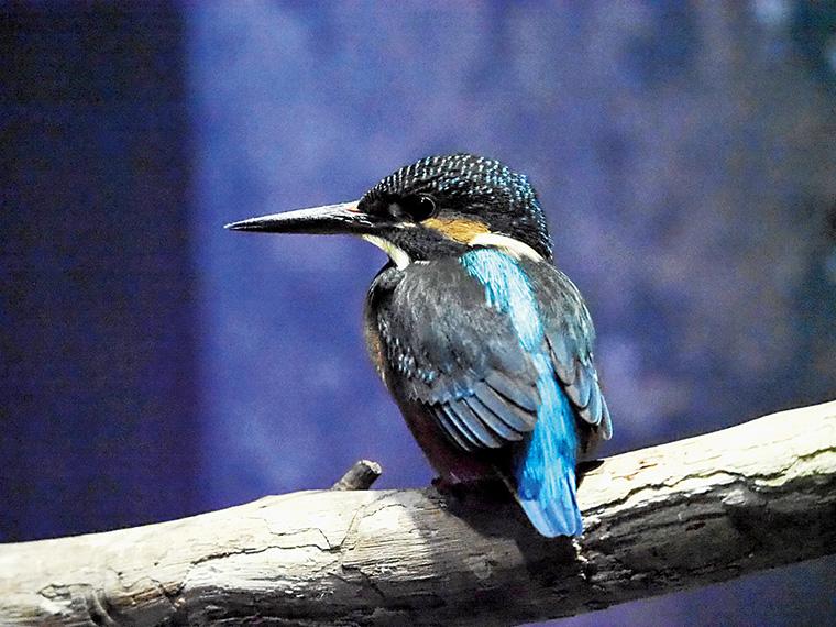 水族館の名前にもあるカワセミは昨年から展示を開始し、人気を博している