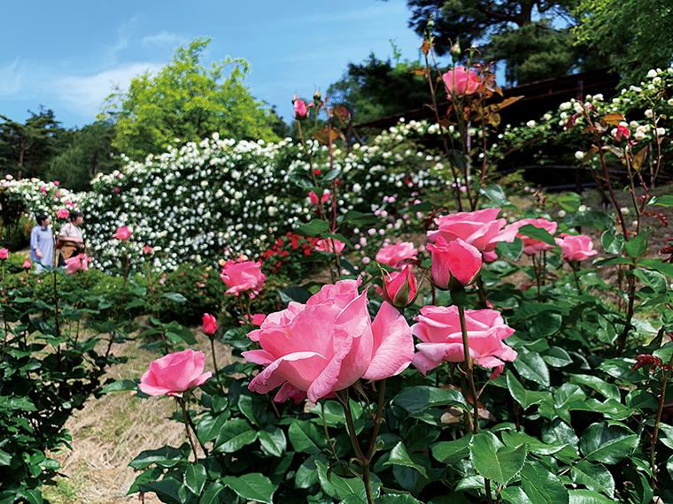 園内の斜面を彩るバラ。秋のバラはもっとも香りが良い