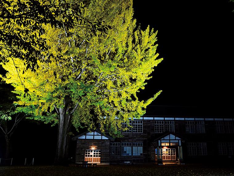 樹齢120年を超えるシンボルの大イチョウ。高さは約18mあり、長きに渡って校舎を見守ってきた