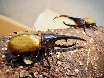 「ヘラクレスオオカブト」など、世界中の昆虫がハワイアンズにやってくる!