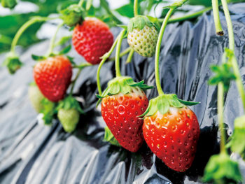 【矢祭町のイチゴ】清らかな水と温暖な気候に恵まれ、農家が愛情を注いで育てた