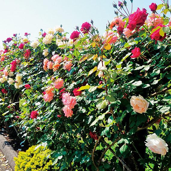 散策路の脇には、ピンクや紫色のバラに加えて、つるバラなどが咲き誇り、フルーティーな香りにも癒やされる