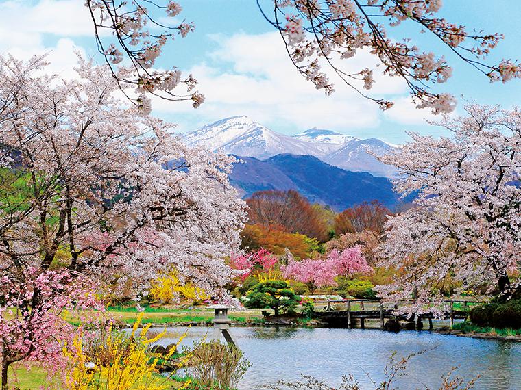 満開の桜の向こうに見える、まだ雪を残す安達太良山とのコントラストが美しい。あでやかなピンクのハナモモや、眩しい黄色のレンギョウが彩りを添える