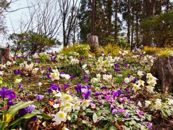 約6,000株のクリスマスローズが咲く春の「国営みちのく杜の湖畔公園」へ