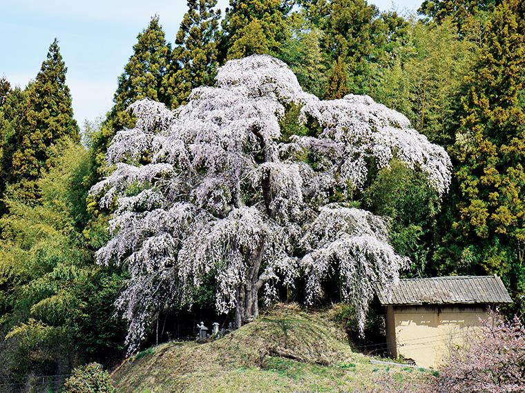天正10年に植樹された、高さ20m、周囲約4mの大桜。福島県の「緑の文化財」に登録されている