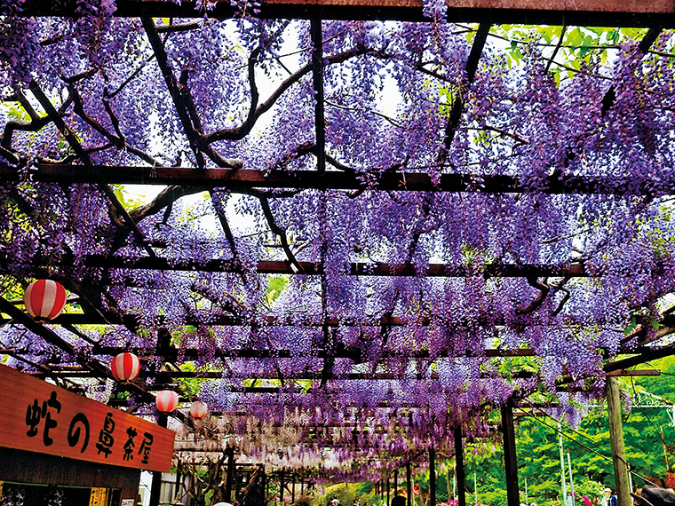 藤棚の下は、独特な甘い香りが漂う。開花期間中はフジ祭りを開催し、鉢植えの即売会などを実施する