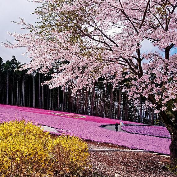 芝桜だけでなくソメイヨシノやレンギョウなど、色とりどりの花が咲く