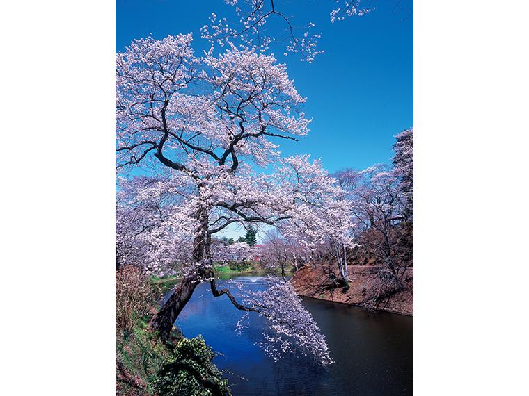 棚倉城跡の桜。例年の見頃に合わせて祭りが開催される