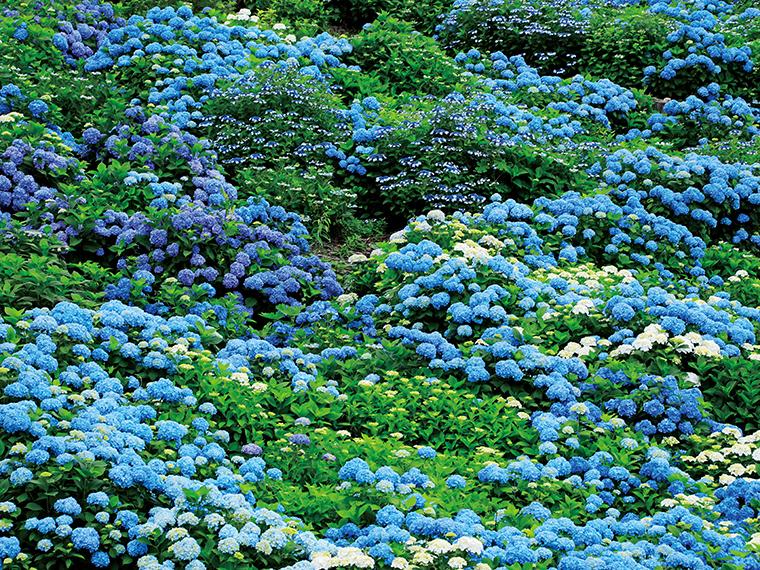『ジュピアランドひらた』の広大な敷地内にユリやアジサイが色とりどりに咲き、訪れる人々を魅了する(写真/大久保善人)