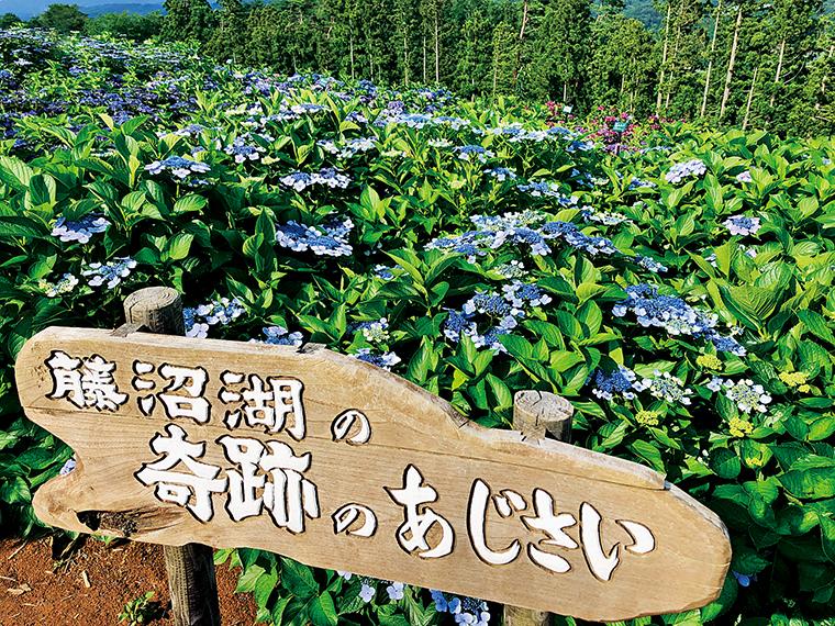 2011年の震災時、須賀川市の「藤沼湖」が決壊した後にダム底で咲いていたという「奇跡のあじさい」も植えられている(写真提供/平田村役場)
