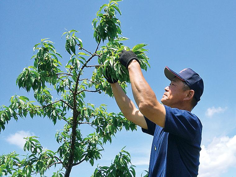 桃の摘果の様子。心を込めて栽培しています!