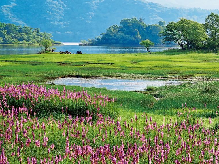 桧原湖のミソハギ(北塩原村)