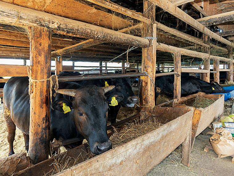 毎日の世話の中で、牛の健康状態も念入りにチェック。「いかに小さな変化にも敏感に気付くかが大切」と林邊さん