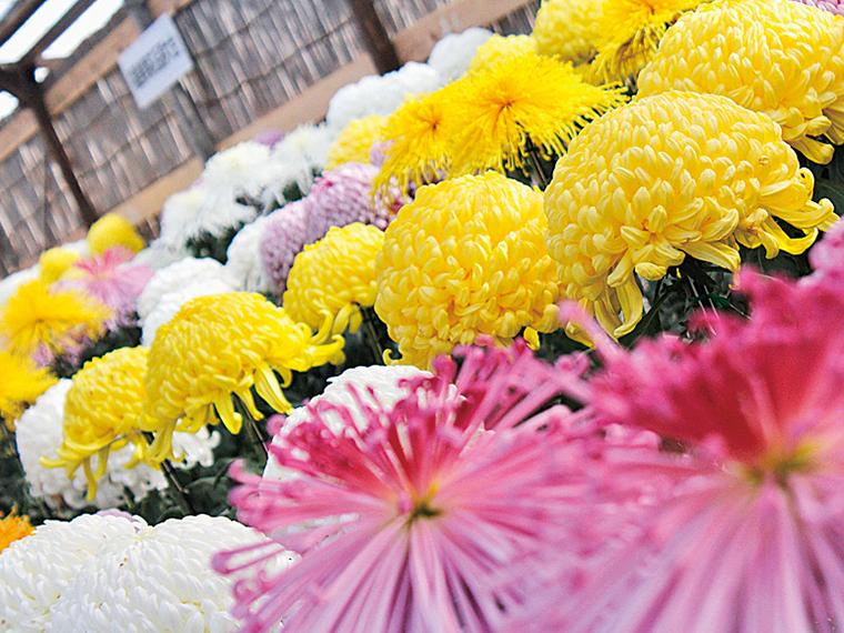 色とりどりの菊が咲き並ぶ