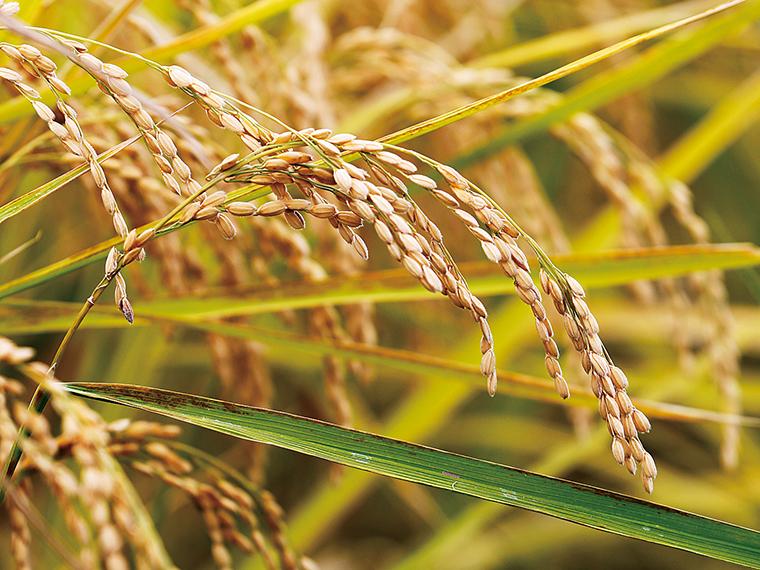 粒の大きさも「福、笑い」の特長。また、風雨でも倒れにくい強さは、農家にとってはうれしい
