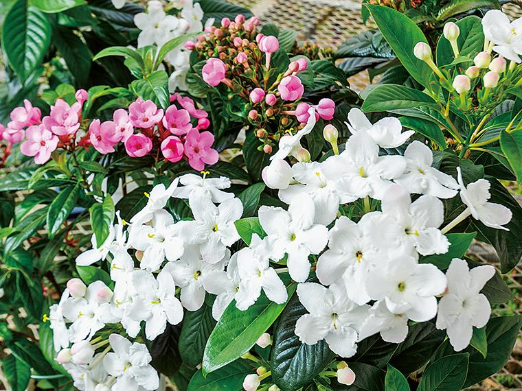 写真のルクリアは、2019年3月に挿し木をしたもの。環境を整えながら大事に育てた。これから少しずつ花開き、甘くやさしい香りがハウスを満たす