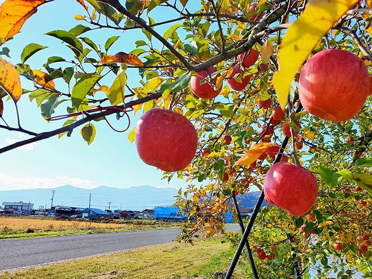 福島市内のリンゴ畑。背後に見えるのは吾妻連峰。福島市でロケをすれば古関裕而が愛する吾妻山を画面に写り込ませることもできただろうに…。う~ん、残念!