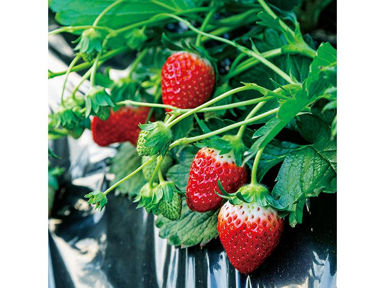 真っ赤に実った矢祭町産イチゴ「とちおとめ」。福島県内で1、2位の栽培面積を誇る「そらの社」は収穫量もトップクラス