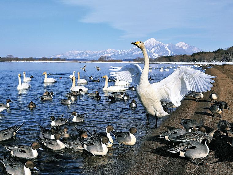 「白鳥の飛来」(見頃:12月下旬~2月中旬頃)。白鳥は人懐っこく、餌やりもOK!売店で餌用の食パンの耳(100円)を購入、または持参して触れ合おう