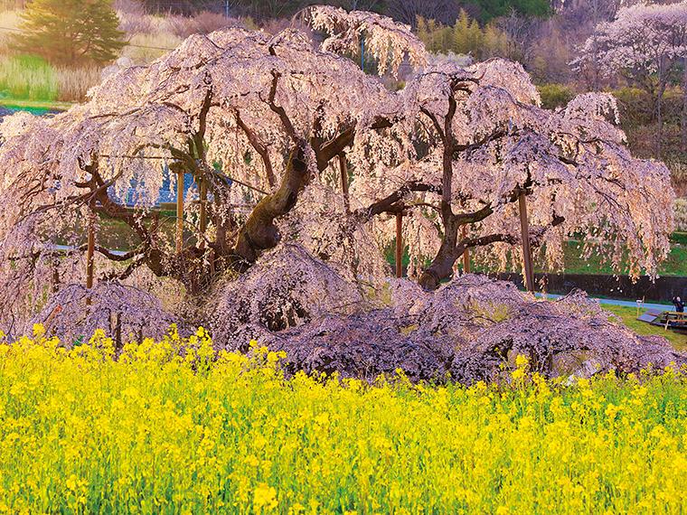 三春滝桜(三春町)