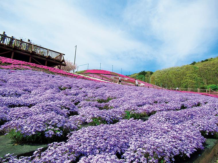 ピンク色の印象がある芝桜だが、淡いスカイブルーの「オーキントンブルーアイ」も美しい(撮影は2018年)