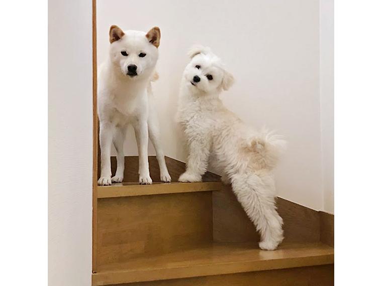 """成尾さんのご実家にいる""""まる""""と一緒に!2匹とも真っ白の奇麗な毛"""
