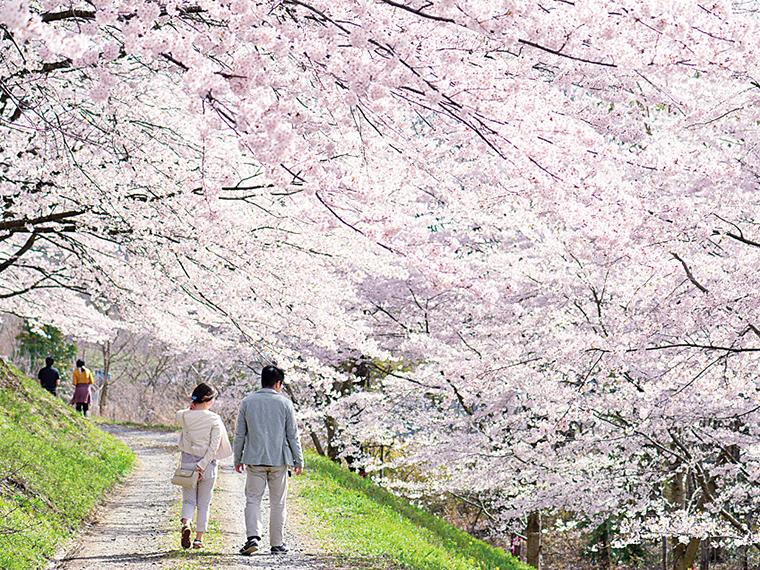 柱沢小学校の校庭から続く桜のトンネルが一番の見どころ。2021年の桜まつりは中止。桜のフォトコンテストを開催予定