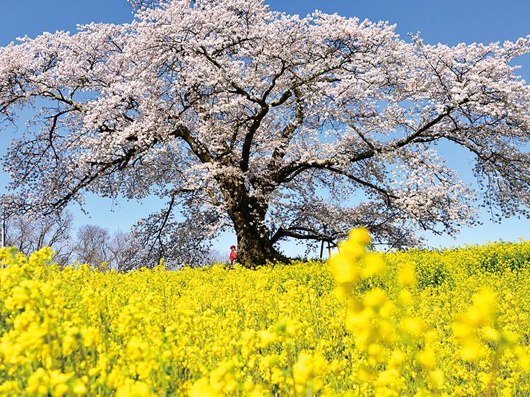 二本松市長折字道久内にある「日向の人待地蔵桜」。開花状況などの詳細は、下記の二本松市観光連盟HPで確認しよう
