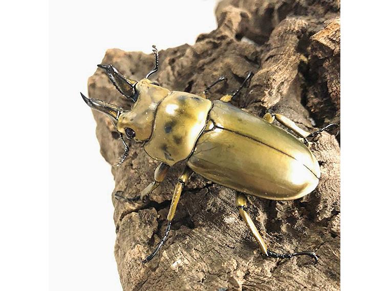 夏の風物詩といえば昆虫。金色に光る、珍しいオオゴンオニクワガタ(雄・雌)も販売中!