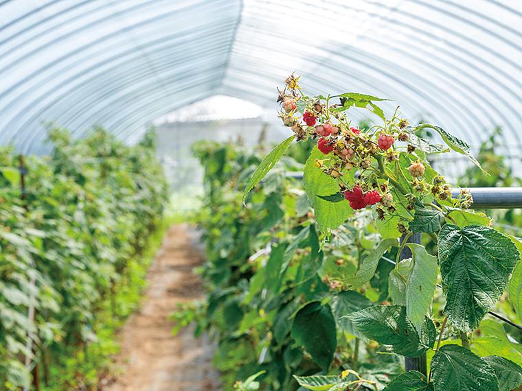ラズベリーを栽培するハウス。収穫時期は6月下旬から12月で、赤く色づいた実を一つひとつ手摘みする
