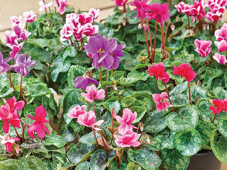 冬にかけて最盛期を迎えるシクラメン。オリジナルの八重咲きミニシクラメン「チモ」は美しい花が長持ちすると高評価