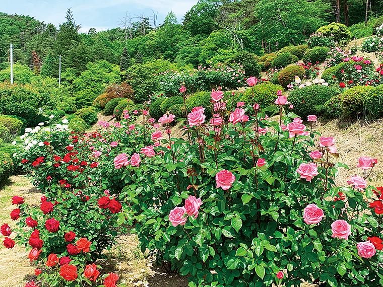 斜面に咲くバラの間を歩いて香りを満喫しよう。バラの鉢植え即売会も行われる