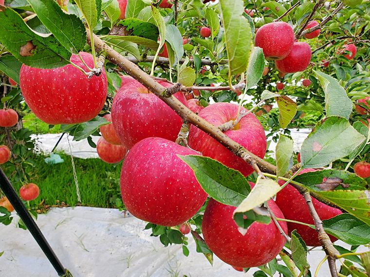 (7)【とがし果樹園】サンふじ(ギフト用)5kg…1名様